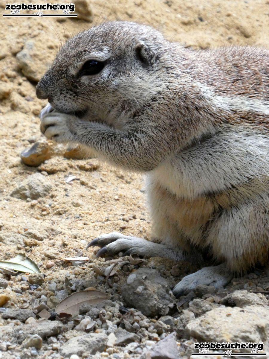 Kap-Borstenhörnchen  (4)