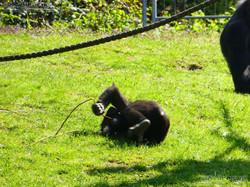 Gorilla Anandi Purzelbaum  (8)