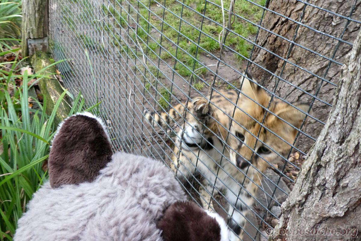 Wuschel mit Serval  (1)