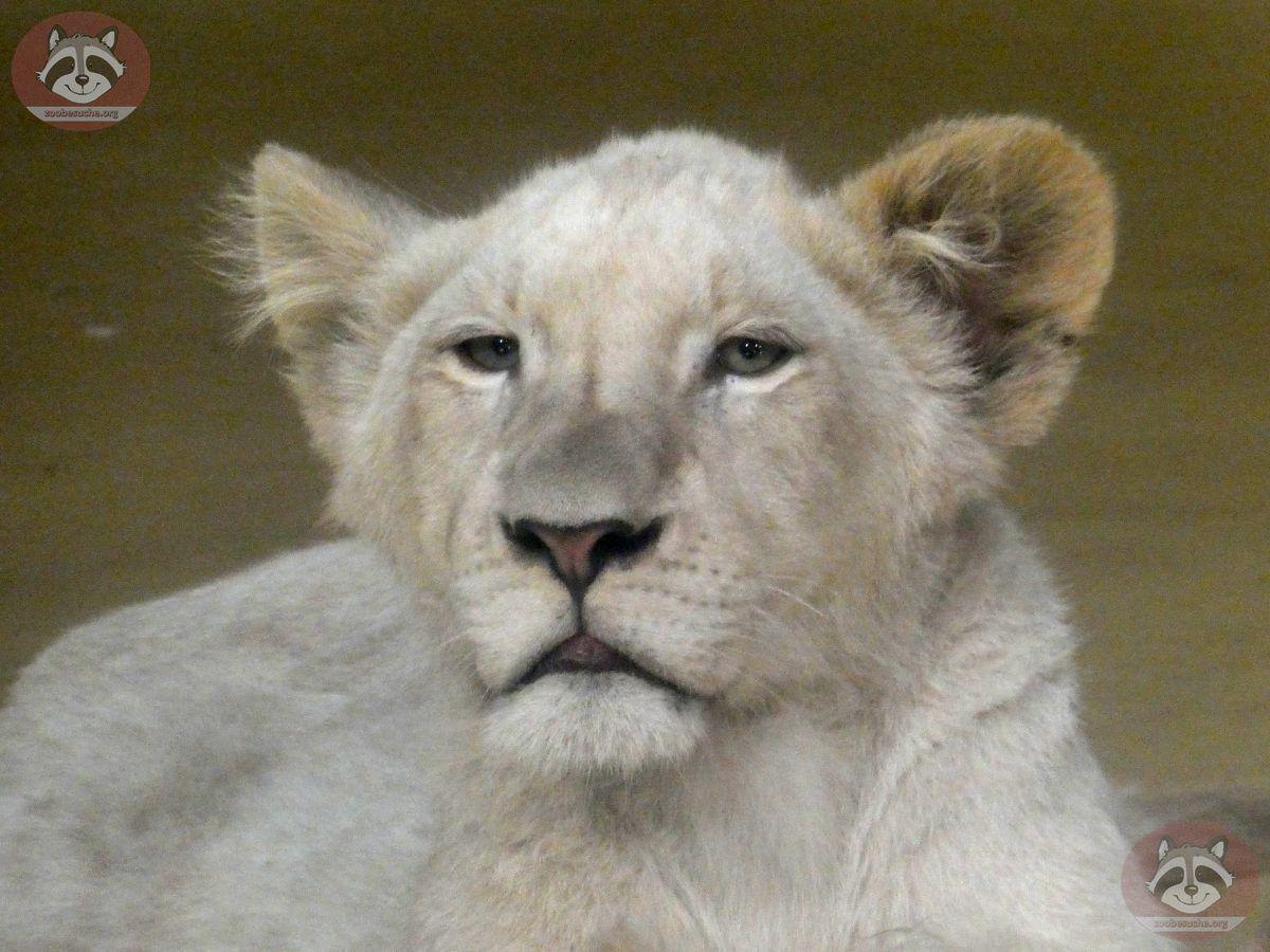 Afrikanischer Löwe (6)
