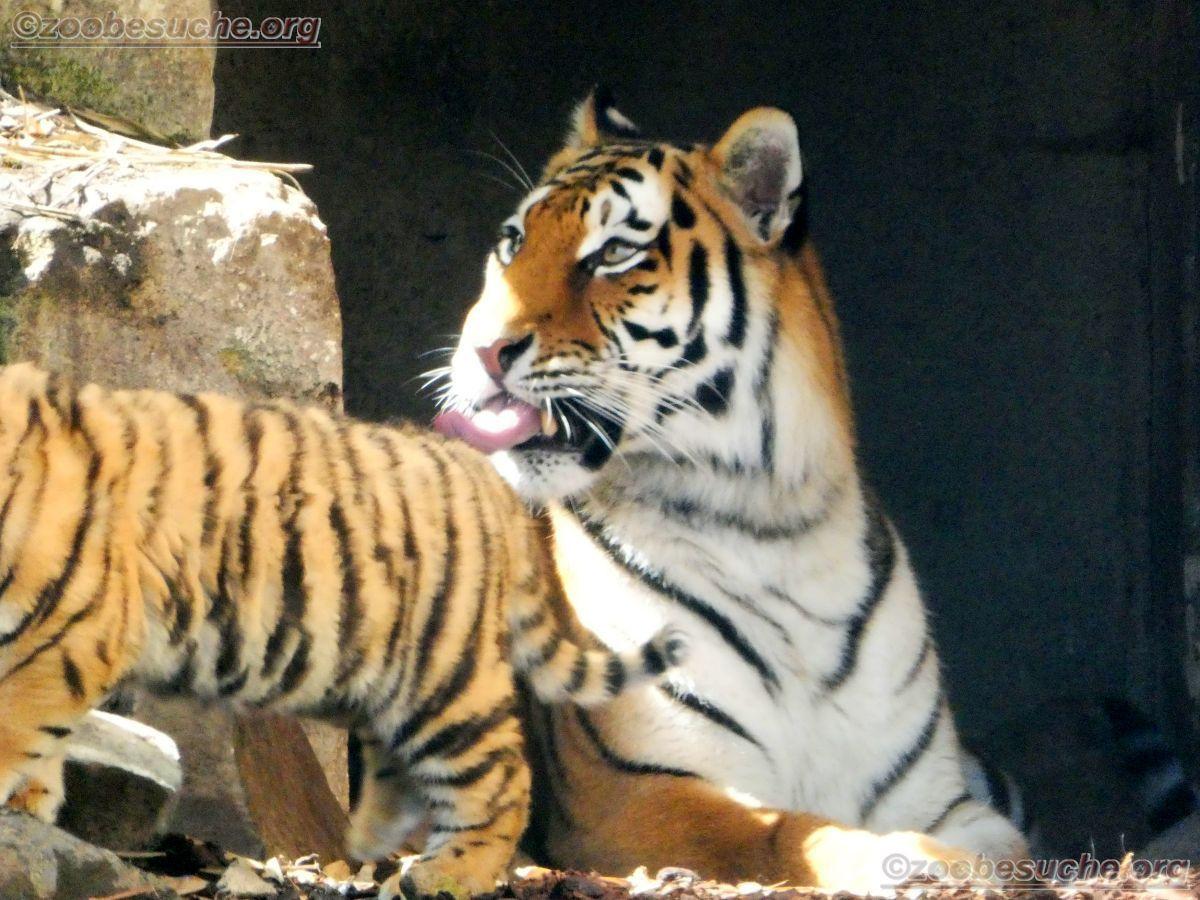 Tiger (29)