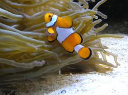 Clownfisch  (2)