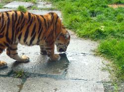 Tigerjungtiere  (26)