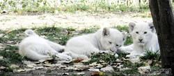 Löwen  (39)