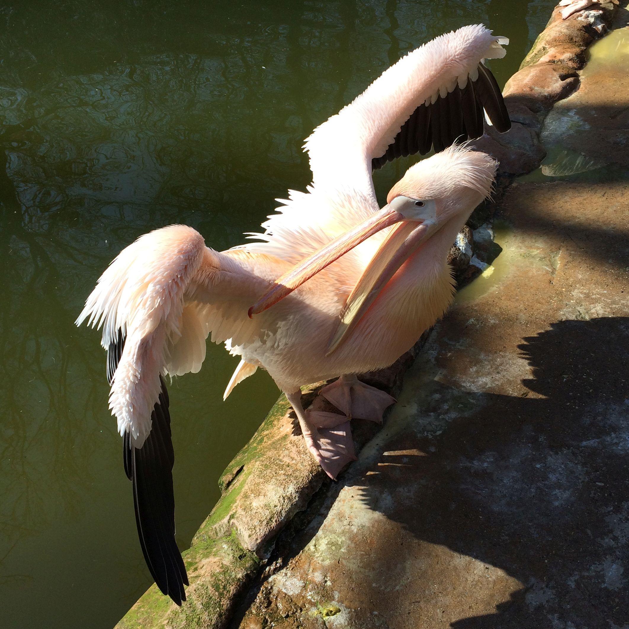 Pelikan  (11)