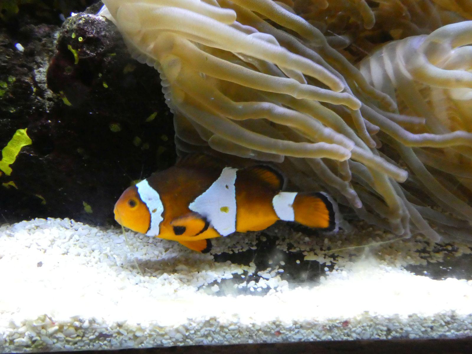 Clownfisch  (3)