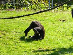 Gorilla Anandi Purzelbaum  (7)
