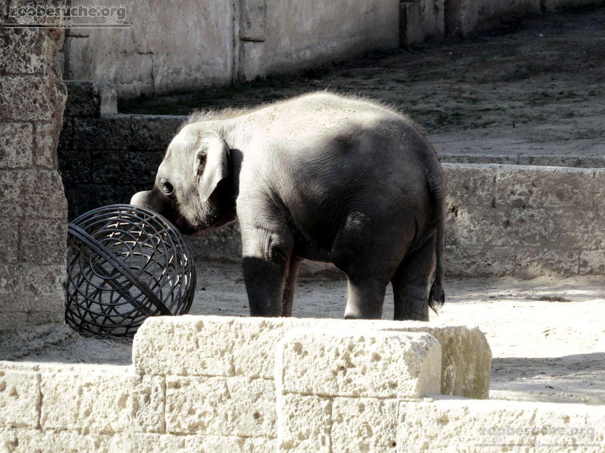 Elefanten Jungtier