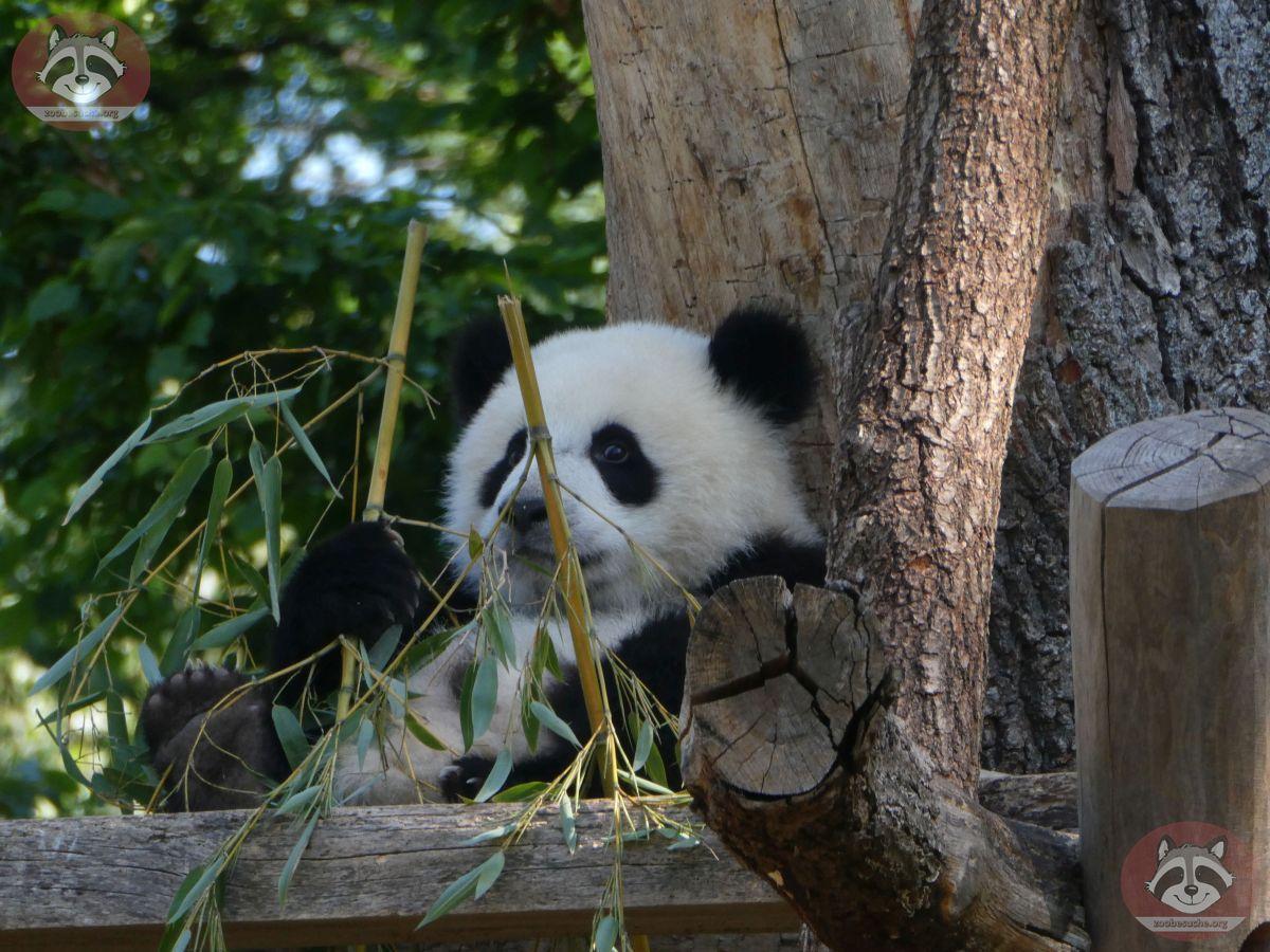 Panda Jungtier  (15)
