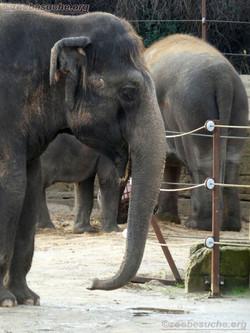 Elefantenkuh Indra  (2)