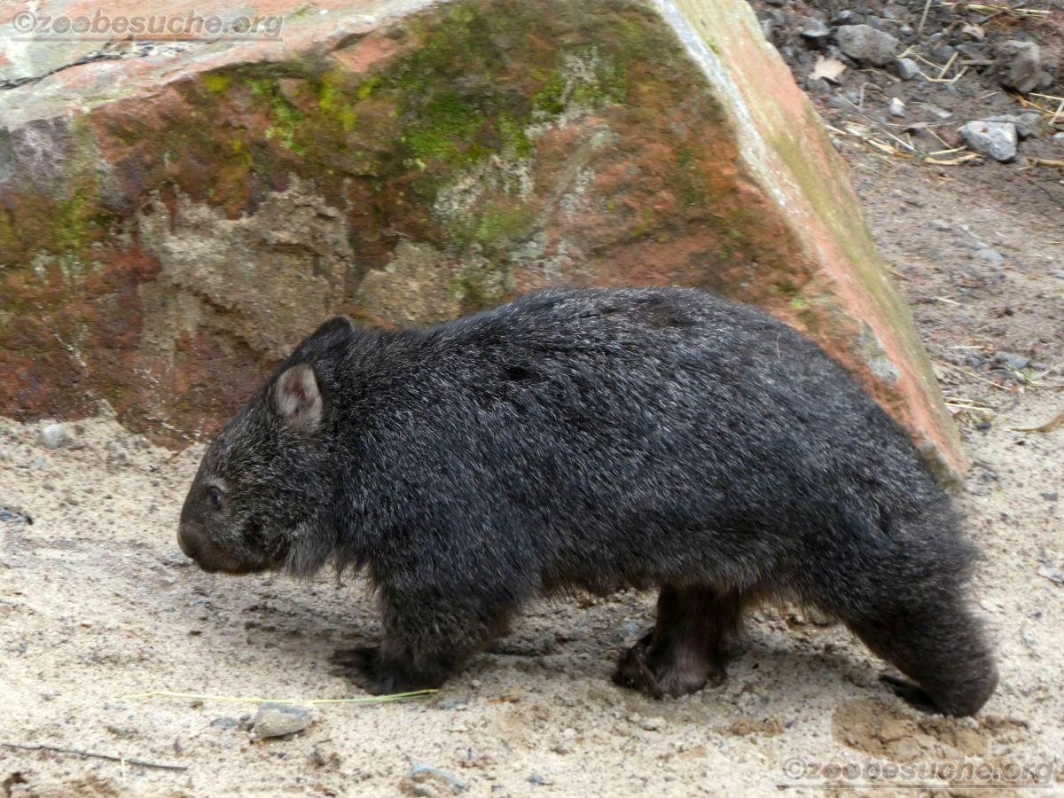 Wombat Maja  (7)