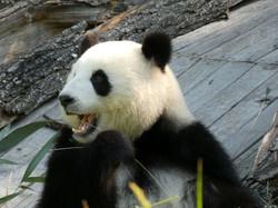 Panda  (133)