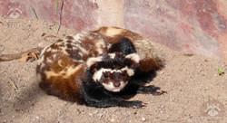 Tigeriltis  (1)
