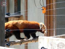 Roter Panda (3)