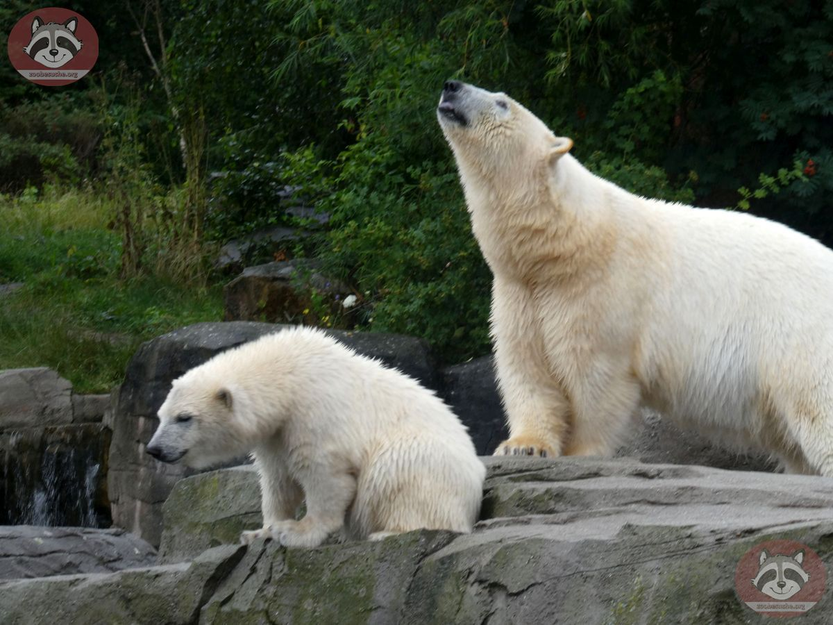 Eisbären_Milana_udn_Nana_(5)