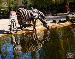 Zebra  (8)