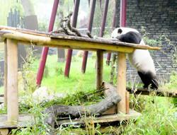 Panda  (12)