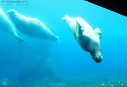 Pazifisches Walross  (4)