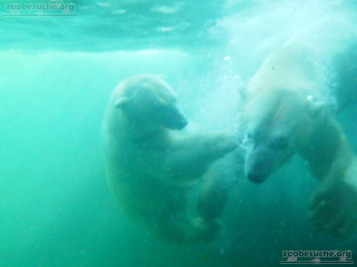 Eisbären_Milana_und_Sprinter__(11)
