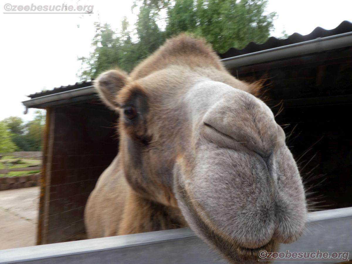 Kamel  (3)