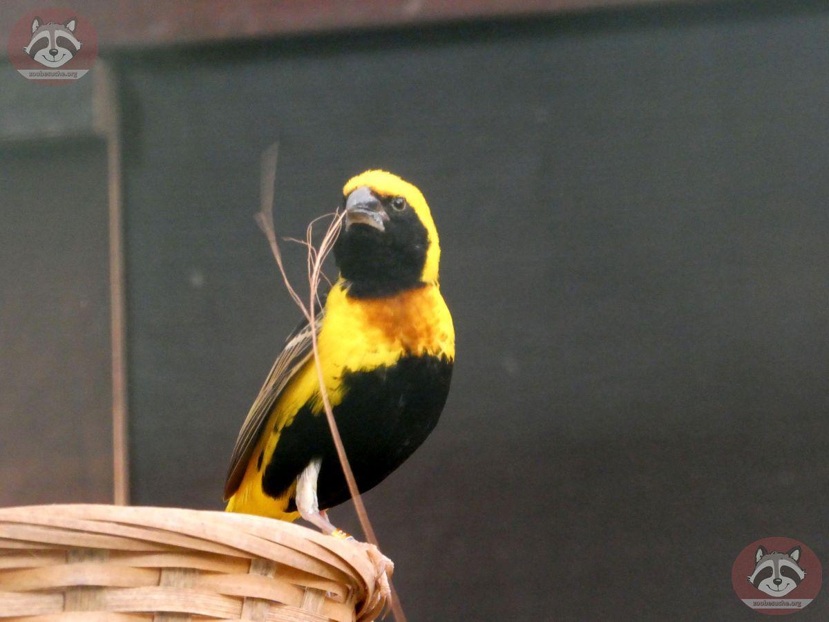 Webervogel (2)