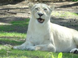 Löwe Weiß  (1)