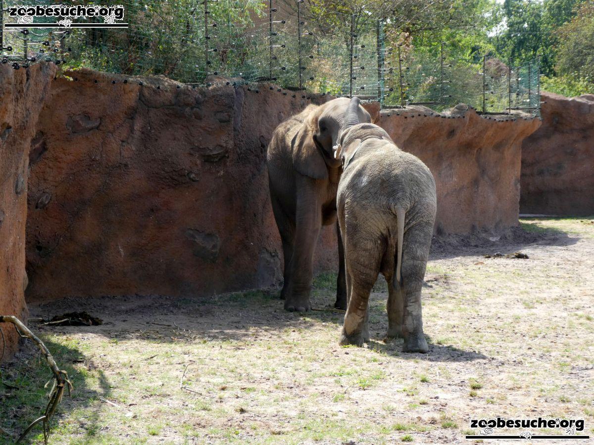 Afrikanische Elefanten  (5)