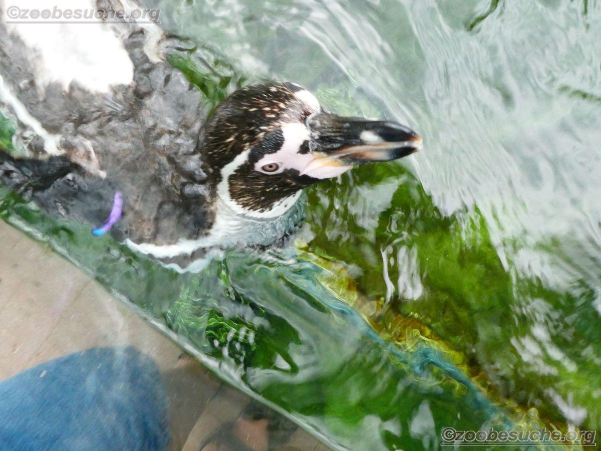 Humboldt-Pinguin  (3)