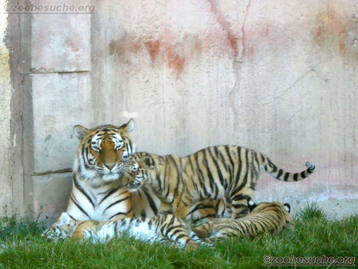 Tigerin Alexa mit Jungtier  (14)