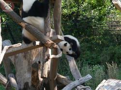Panda Jungtier  (23)