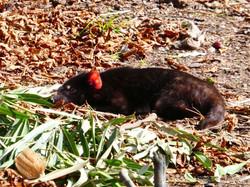 Tasmanischer Teufel  (1)