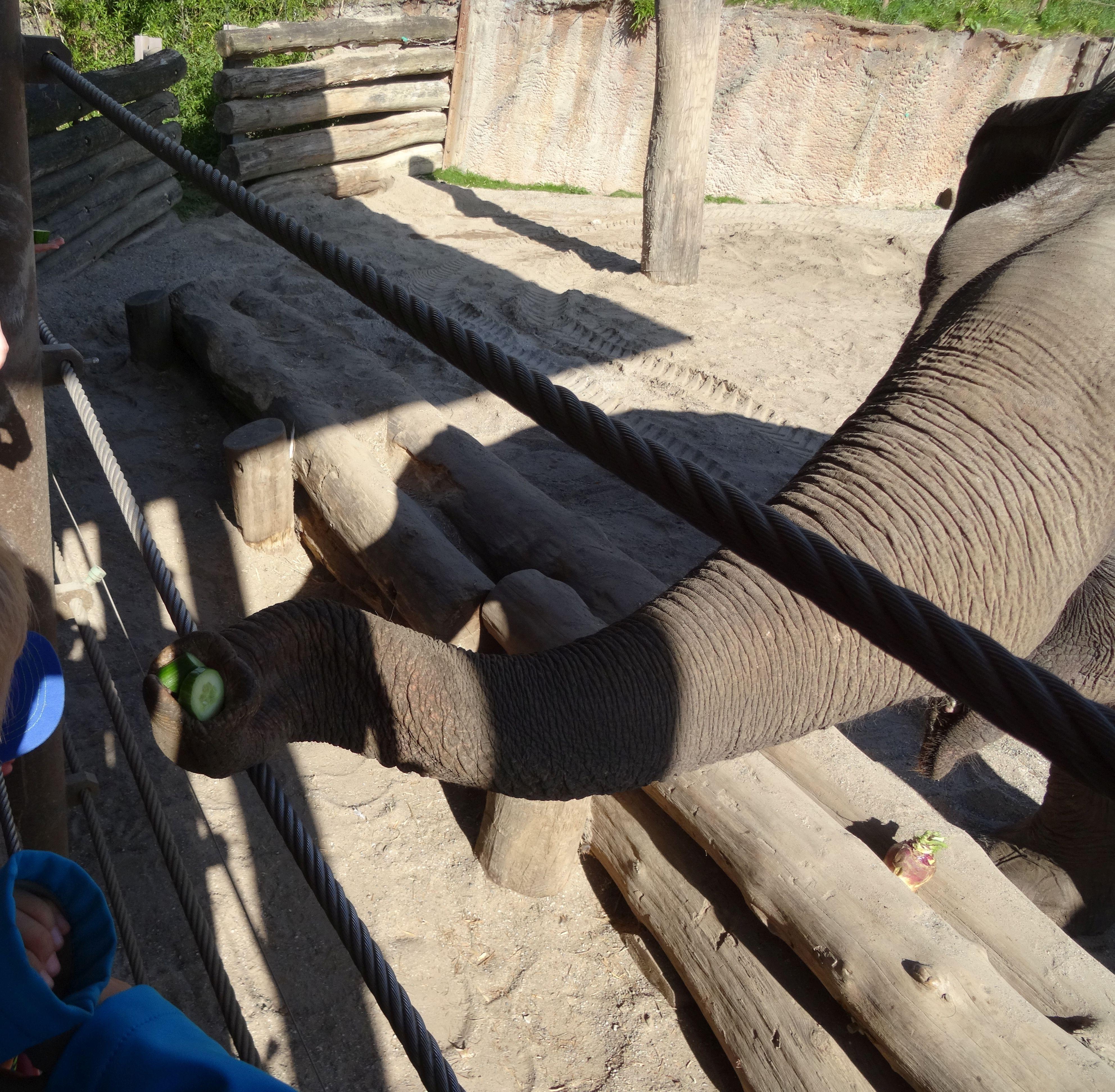 Elefant_bei_der_Fütterung_(3)