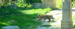 Tiger  (37)