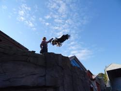 Weißkopfseeadler_beim_Training_(1)