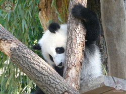 Panda Jungtier  (16)