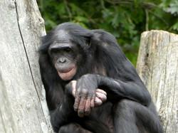 Bonobo  (4)