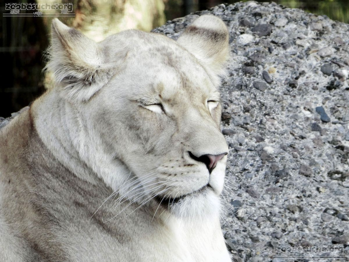 Löwen  (40)