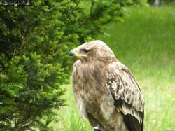 Greifvogel  (2)