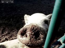 Schwein  (3)