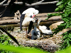 Storch  (6)