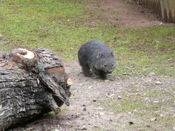 Wombat Maja  (5)