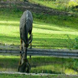 Pferdeantilopa