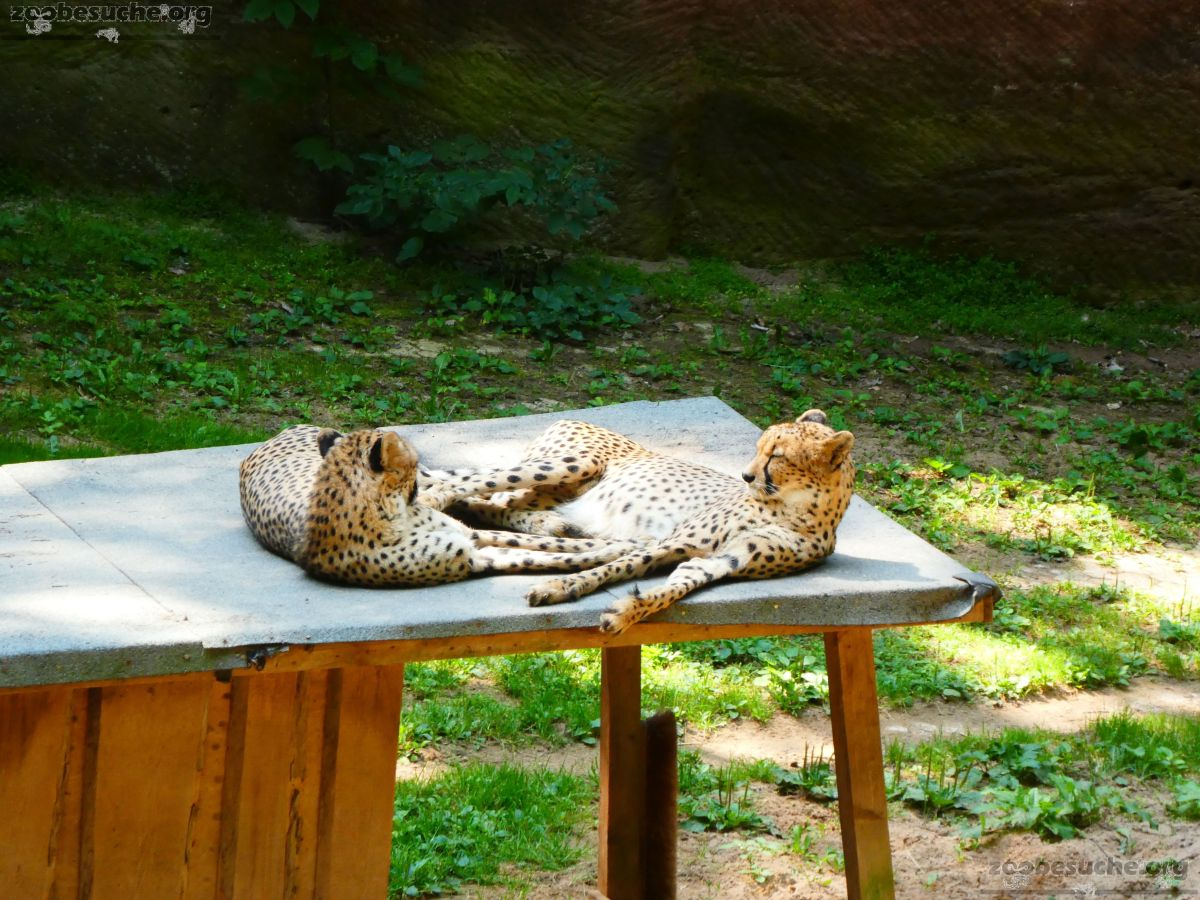 Gepard  (1)
