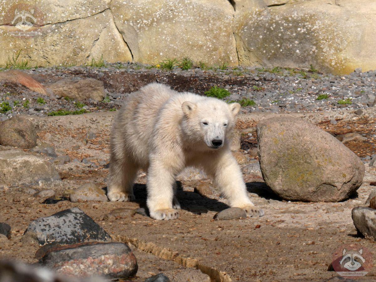 Eisbären  (9)