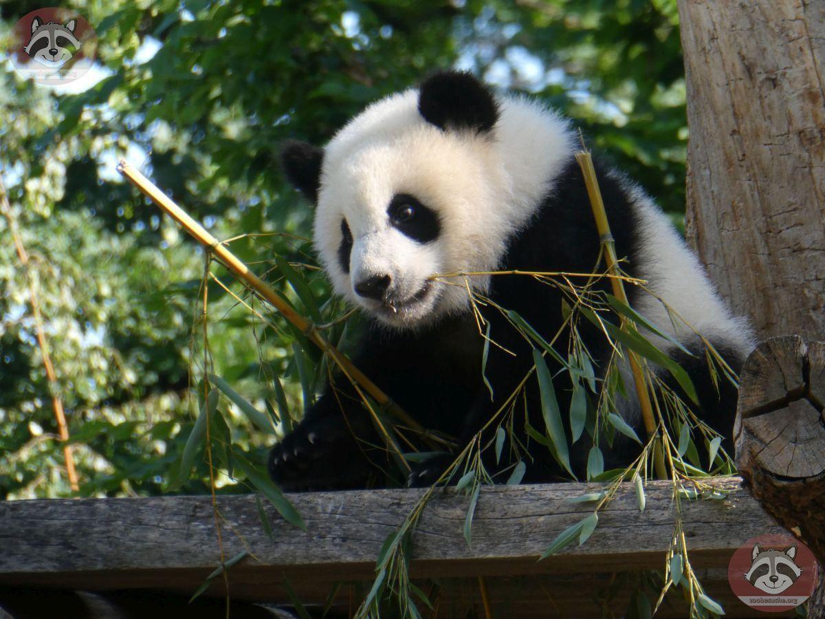 Panda Jungtier  (12)