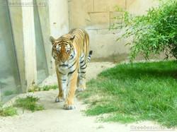 Tiger Aljoscha  (1)