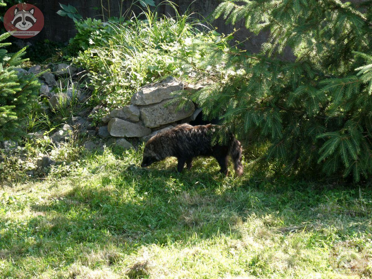 Marderhund (1)
