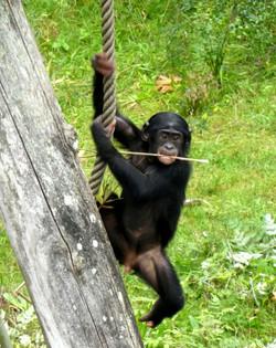 Bonobo  (3)