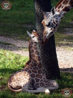Giraffen (6)