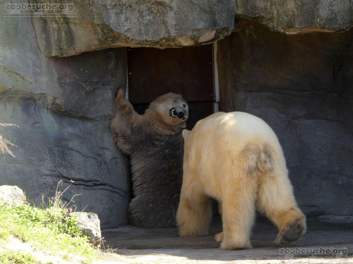 Eisbären_Milana_und_Sprinter_(4)